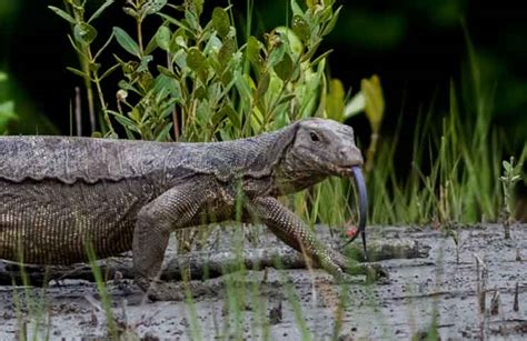 Water Monitor new monitor lizard species discovered in black market cobras org