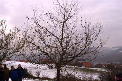 Schneiden Apfelb Umen 4175 obstbaumschnitt apfel obstbaumschnitt schneiden des