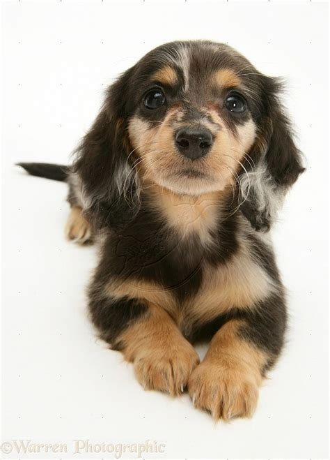 hair weiner 25 best ideas about haired dachshund on haired miniature