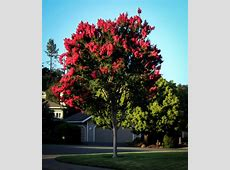 RED Crape Myrtles Available as Miniatures, Dwarves, Medium ... W Is For Watermelon