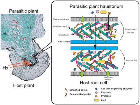 non parasitic agents of plant disease frontiers apoplastic interactions between plants and
