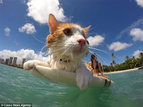 adoption oahu kuli the cat to surf the waves and swim in hawaii daily mail