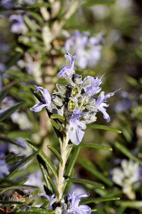 fiori di rosmarino rosmarinus officinalis rosmarino