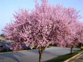 flowering plum tree in jonesville nc flickr photo sharing