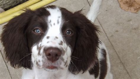 springer spaniel puppies hi my name is bertie springer spaniel puppy morecambe lancashire pets4homes