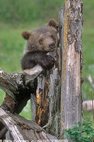 grizzly bear cubs playing pin by chet winters animalimage net on bear cubs pinterest