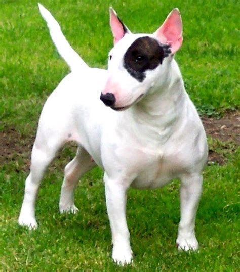 pig puppy miniature bull terrier photo happy heaven