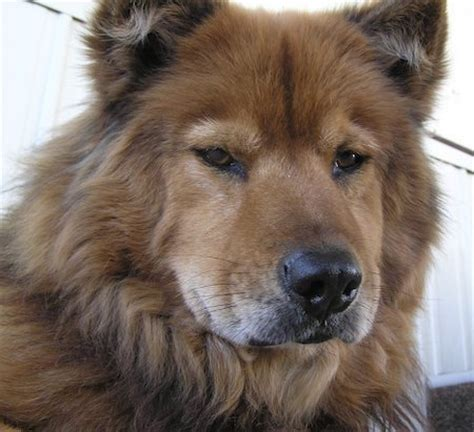 chow chow german shepherd mix view topic lost souls rp needs members chicken smoothie