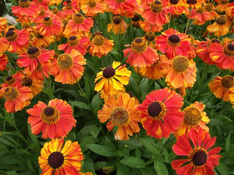 Shades Of Brown helenium sahin s early flowerer 2 flickr photo sharing