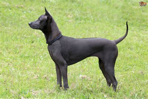how are dogs for thai ridgeback breed information buying advice photos and facts pets4homes