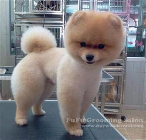 cute pomeranian haircuts very shapely pom japanese style haircuts pom fever