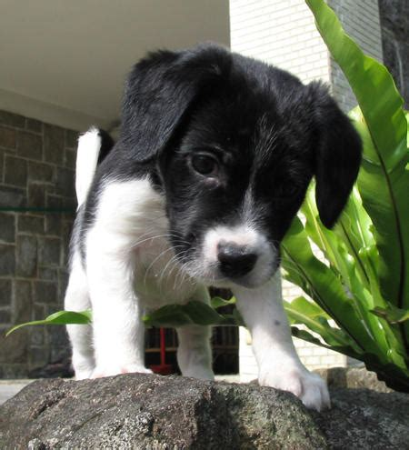 border collie mix puppies border beagle border collie x beagle mix info temperament puppies pictures