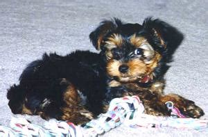 yorkie liver shunt page twenty one of terrier photo gallery