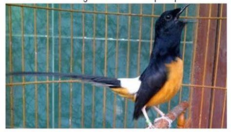 suara burung barau barau blastmediaget