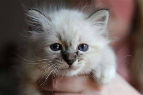 cats for sale plymouth beautiful birman kittens plymouth pets4homes