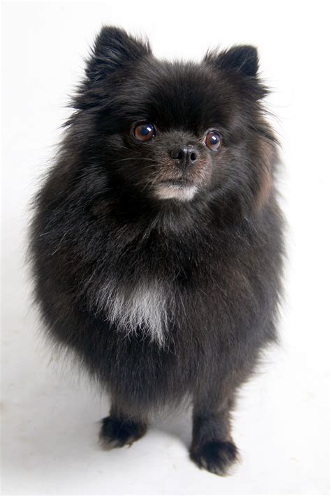 black pomeranian 35 most awesome black pomeranian pictures and images