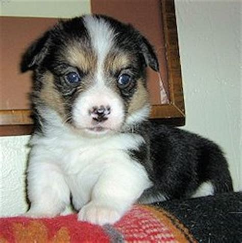 corgi puppies for sale in southern california pembroke corgi breeders in southern california website of dapeslip
