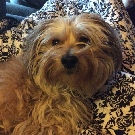 yorkie lhasa apso into event 2015 animal care league
