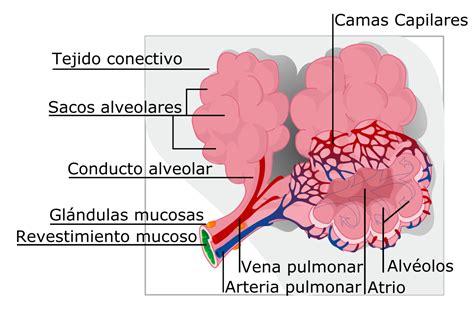 imagenes histologicas pdf alv 233 olo pulmonar wikipedia la enciclopedia libre