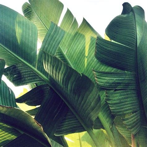banana palm wallpaper tumblr 25 best ideas about banana leaves on pinterest green
