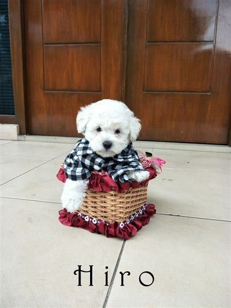 Boneka Anjing Poodle 1 For Sale Puppies White Poodle Di Bandung 1661