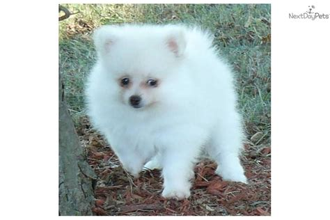 dogs for sale in ct small breed puppies for sale in ct breeds picture