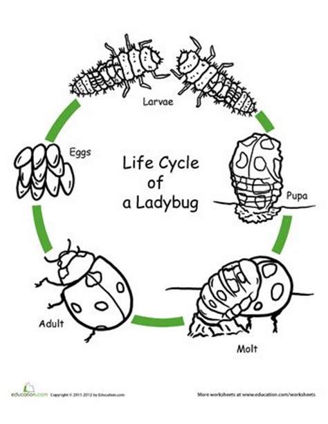 ppt the life cycle of ladybugs powerpoint presentation color the life cycle ladybug beautiful coloring and