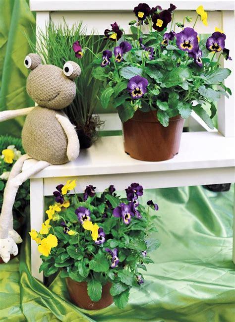 beet balkonpflanze hornveilchen  kaufen otto