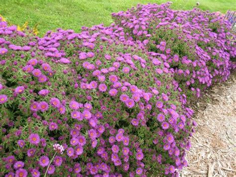 fiori tappezzanti per aiuole piante ornamentali