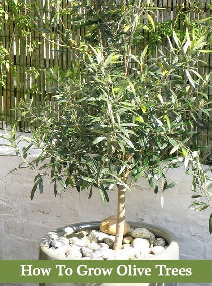 grow olive trees   backyard  containers