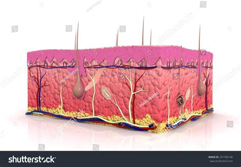 3d cross sections 3d cross section of skin in white background stock photo