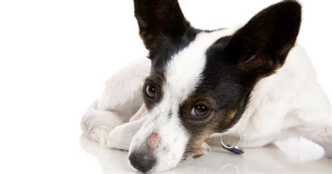 primer on lymphoma dawg business its your dogs health primer on ringworm dawg business it s your dog s health