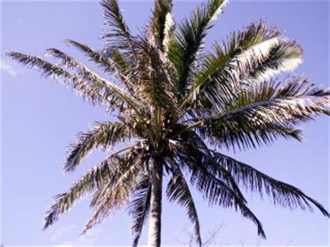 Planter Des Fougères by Cocos Nucifera L Cocotier Noix De Coco