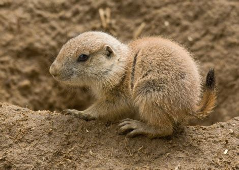 baby prairie dogs tiny things debut at the sf zoo zooborns
