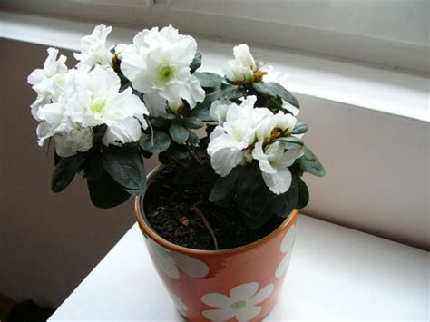 easy indoor flowers green indoor plants flowering easy to grow pot plants fresh design pedia