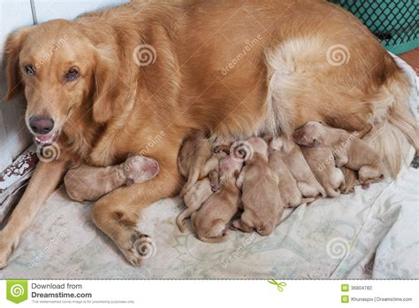 with new puppy day of golden retriever puppies with new lying on stock photo image of