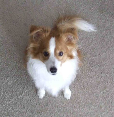 papillon mix puppies shelillon papillon and shetland sheepdog mix pictures and information