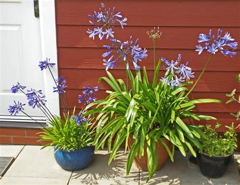 care for agapanthus in pots tips on planting agapanthus