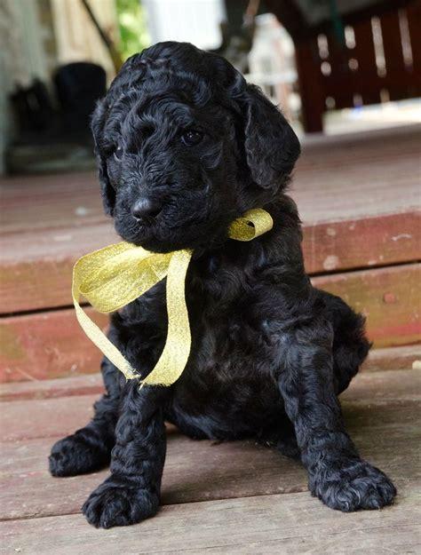 black standard poodle puppies best 20 black standard poodle ideas on