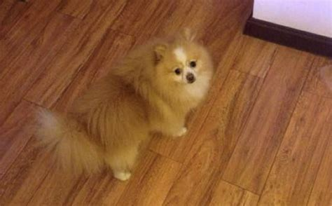 pomeranian hind legs pomchi hair cuts hairstyle gallery