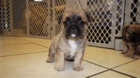dogs for sale in ga choice fawn bullshih puppies for sale in ga at puppies for sale local breeders