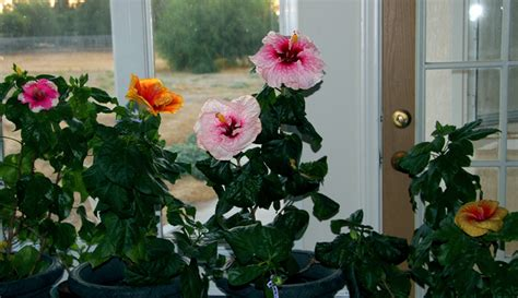 Best House Plant by Hidden Valley Hibiscus Wintering Tropical Hibiscus