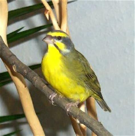 Burung Mozambik Sepasang burung mozambik trend burung