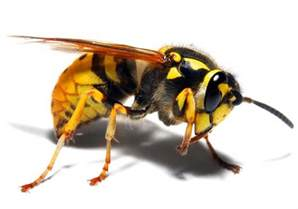 Yellow Jacket Vancouver Yellow Jackets Hornet Removal Aspen Pest