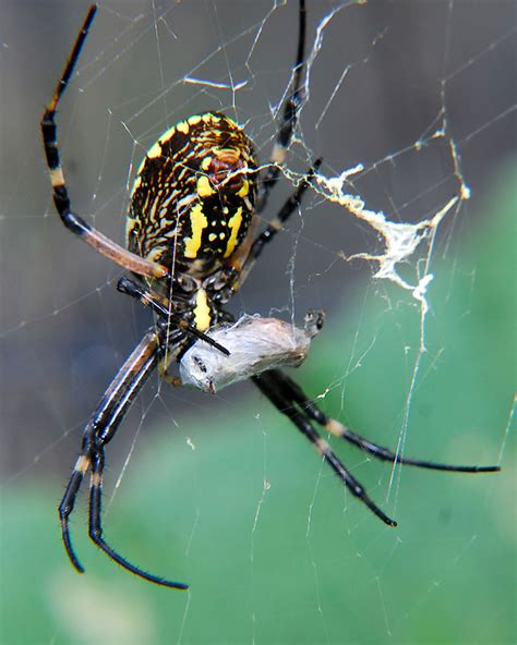 the spider and the fly a writer a murderer and a story of obsession books the writing spider argiope aurantia curbstone valley