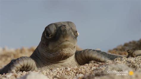 turtle hatchlings face death  dashing  ocean