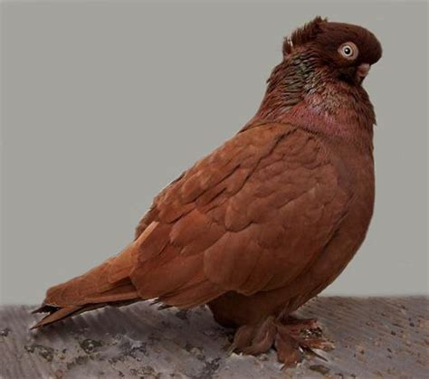 red crested ancient pigeon pinx pets