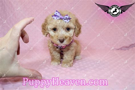 teacup maltese puppies for sale in az teacup maltese morkie yorkipoo puppies for sale in las vegas nv image breeds picture