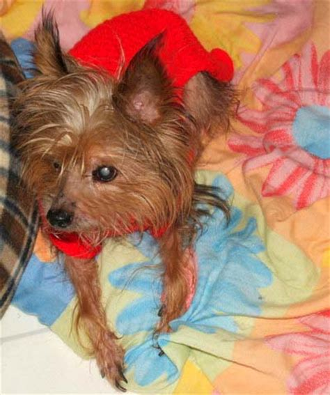 are yorkies color blind blind the thanksgiving turkey yorkie s web page