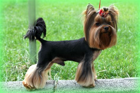 black yorkie terrier black terrier